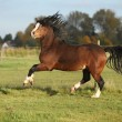 Gorgeous welsh mountain pony stallion with black hair — Stock Photo