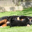 Bernese Mountain Dog bitch playing with puppy — Stock Photo #23962347