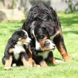 Bernese Mountain Dog bitch playing with puppies — Stock Photo #23962393
