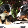 Bernese Mountain Dog bitch checking out its puppy — Stock Photo #23962405