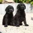 Adorable labrador retriever puppies sitting on a stone path — Stock Photo