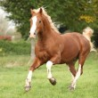 Stock Photo: Chestnut welsh pony with blond hair running on pasturage