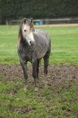 Pony on typical autumn pasturage — Zdjęcie stockowe