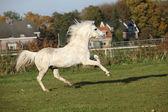 Zweterige welsh mountain pony hengst — Stockfoto