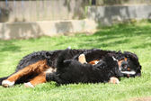 Bernese Mountain Dog bitch playing with puppy — Stock Photo