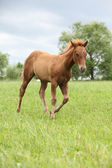 Filly of sorrel solid paint horse before a storm — Stock Photo