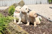 Adorable labrador retriever puppies sitting in line — Stock Photo