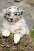 Adorable australian shepherd puppy smiling — ストック写真