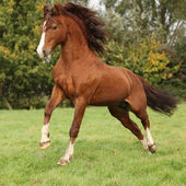 Nice chestnut welsh pony stallion jumping — Stock Photo