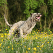 Stock Photo: Irish wolfhound smiling and running in yellow flowers