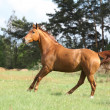 Galloping horse with beautiful chestnut color on pasturage — Stock Photo