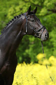 Black stallion in the colza field — Stock Photo