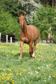 Chestnut warmblood running on green pasturage — Stock Photo