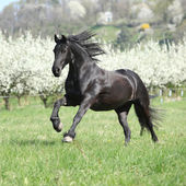 Gorgeous friesian mare running in front of flowering trees — Stock Photo