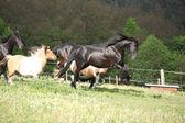 フリージアン馬ながらその前方ジャンプ — ストック写真