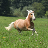 Beautiful chestnut horse with blond mane running in freedom — Stock Photo