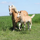 Beautiful haflinger mare with a foal — Stock Photo