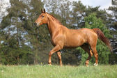 Shining chestnut horse on horizon in front of some trees — Stock Photo