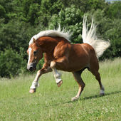 Angry haflinger stallion jumping in nature — Stock Photo