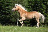 Nice haflinger stallion running on pasturage — Zdjęcie stockowe