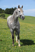 Quarter horse stallion standing in front of beautiful scenery — Stockfoto