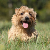 Norfolk terrier smiling at you — Stock Photo