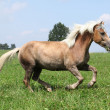 Stock Photo: Beautiful chestnut horse with blond mane running in freedom