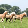 Batch of chestnut horses running together in freedom — Stock Photo