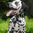 Gorgeous dalmatian puppy with long tongue — Stock Photo
