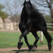 Gorgeous friesian stallion with long mane running on pasturage - Stock Photo