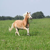 Nice chestnut horse with blond mane running in nature — ストック写真