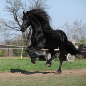 Gorgeous friesian stallion with long mane running on pasturage — Stock Photo