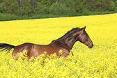 Brown horse running in yellow colza field — Stock Photo