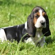 Gorgeous puppy of basset hound in the grass - Stock Photo