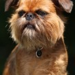 Young Brussels Griffon in front of dark background — Stock Photo