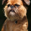 Young Brussels Griffon in front of dark background - Stock Photo