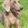 Weimaraner Vorsterhund bitch lying - Foto de Stock