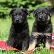 Two german shepherd puppies sitting side by side - Foto de Stock