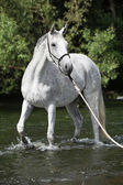 White English Thoroughbred horse in river — Stock Photo