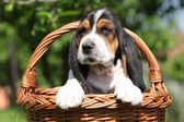 Adorable puppy of basset hound in a basket — Stock Photo