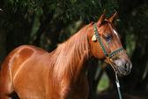 Beautiful arabian horse with nice show halter — Fotografia Stock