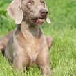 Weimaraner Vorsterhund bitch lying — Stock Photo #24365201
