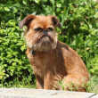 Young Brussels Griffon - Stock Photo