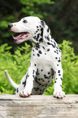 Gorgeous dalmatian puppy on some stock in the garden — Stock Photo