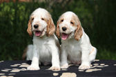 Gorgeous English Cocker Spaniel puppies sitting — Stock Photo