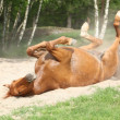 Stock Photo: Chestnut horse rolling in sand in hot summer