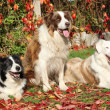Three border collies in red leaves — Stock Photo