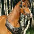 Stock Photo: Chestnut arabistallion with perfect harness