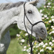 Crazy portrait of white English Thoroughbred horse — Stock Photo #25067999