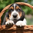 Stock Photo: Adorable puppy of basset hound in basket